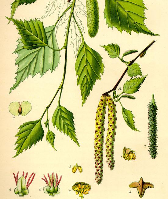 Birke Datenblatt